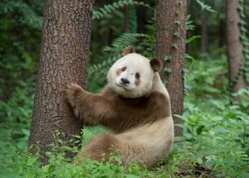 全球唯一的棕色大熊猫,还是很萌很可爱的哈.
