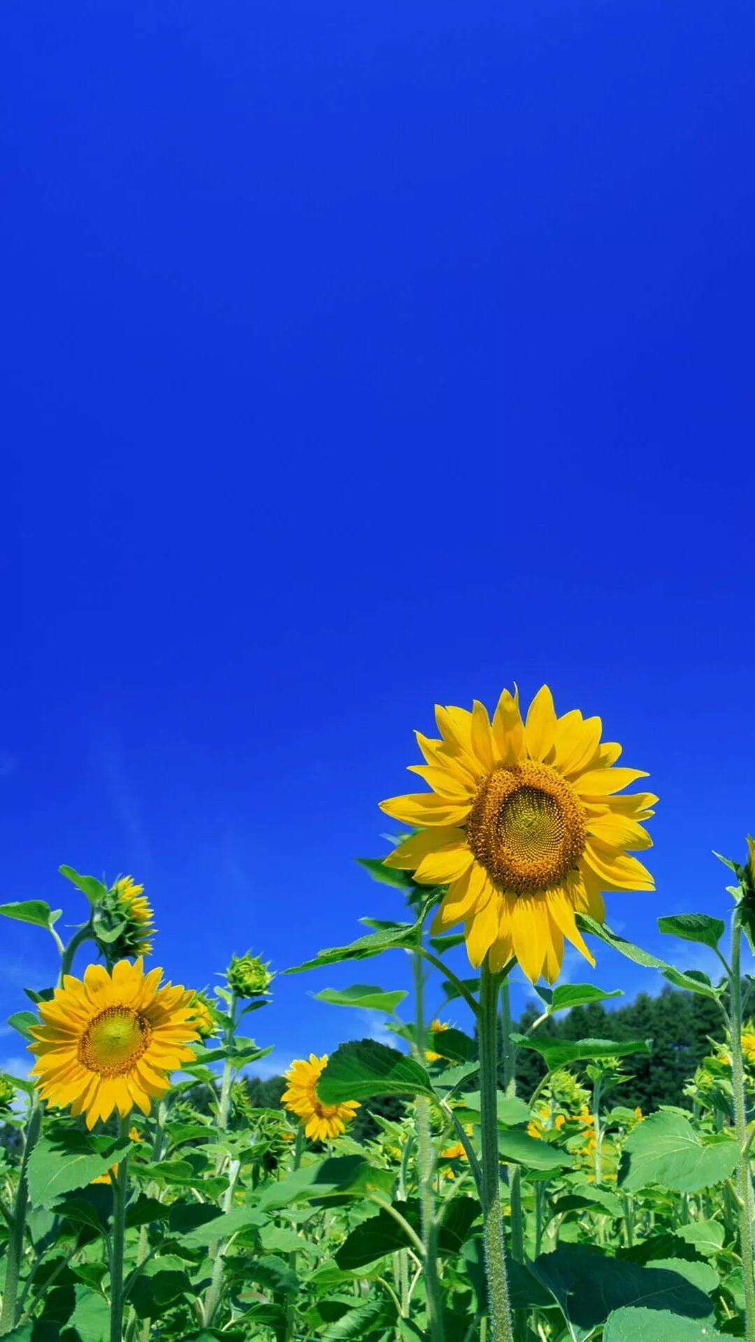 向日葵壁纸分享