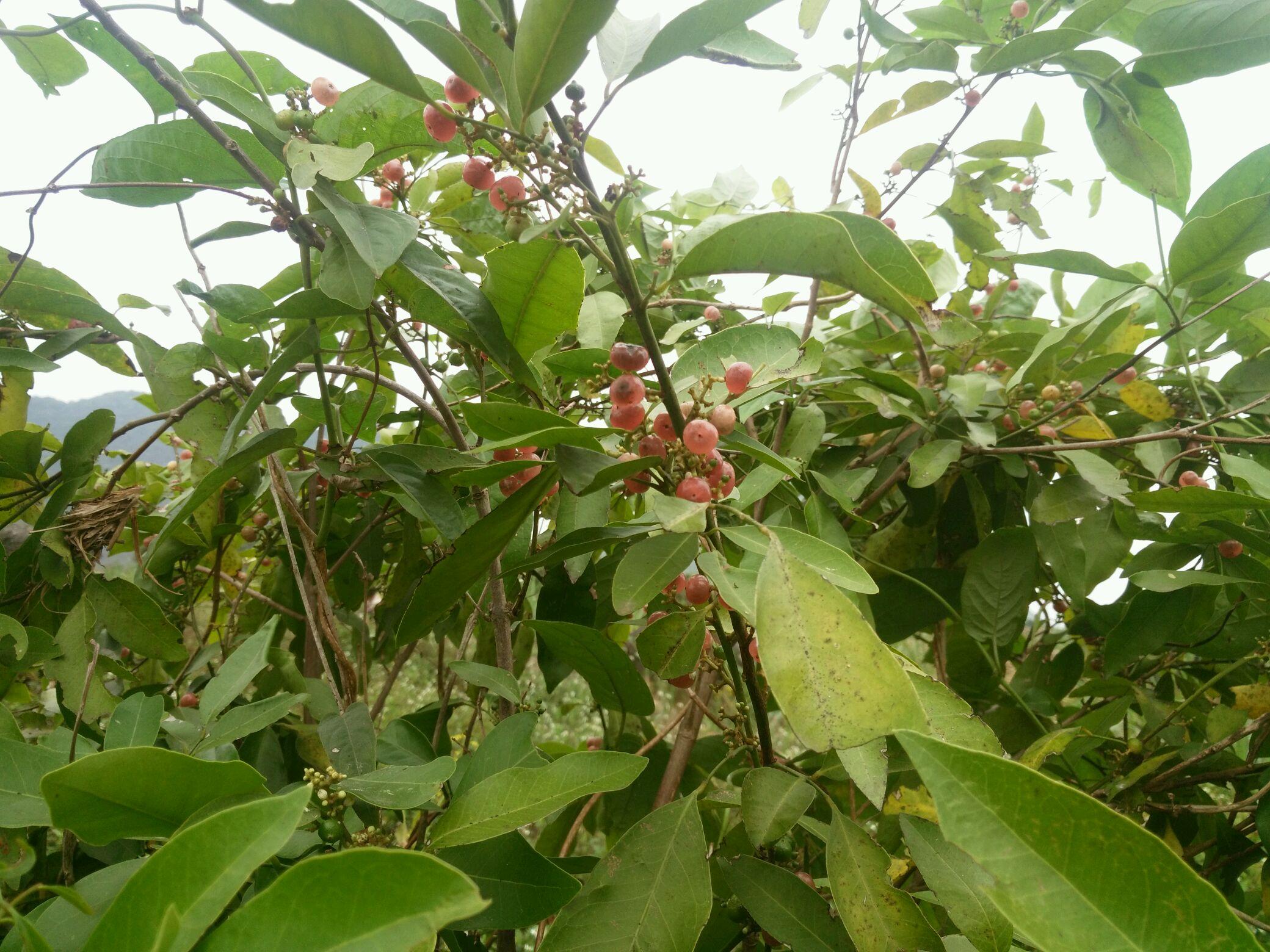 海南野果品种大全名字