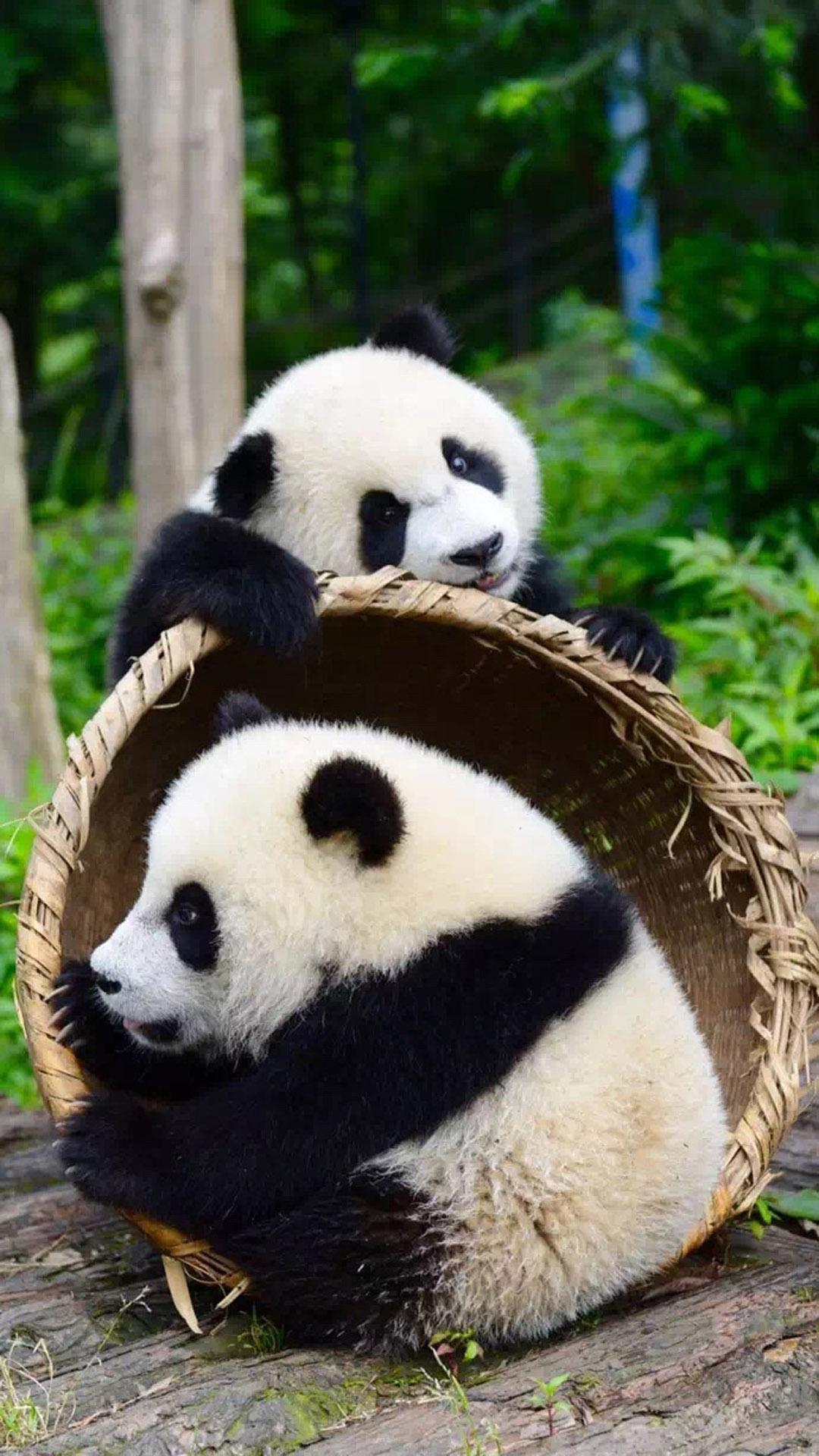 〔资源组|壁纸〕 1080*1920 熊猫手机壁纸