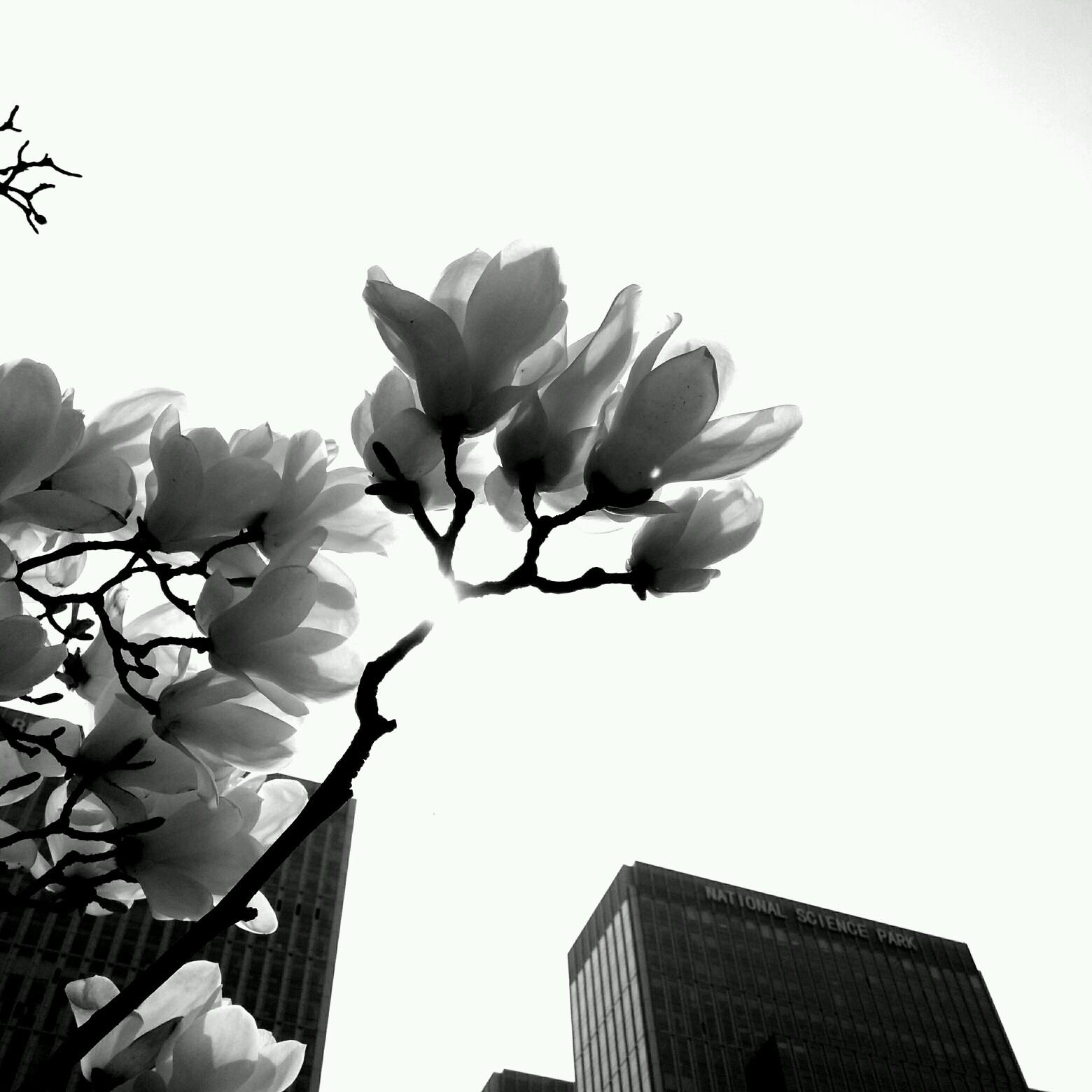 【寻春】黑白映像 玉兰花