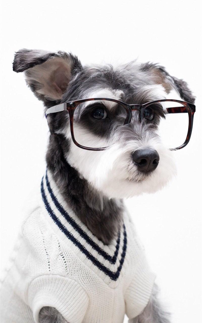 【v粉壁纸】可爱宠物狗雪纳瑞壁纸