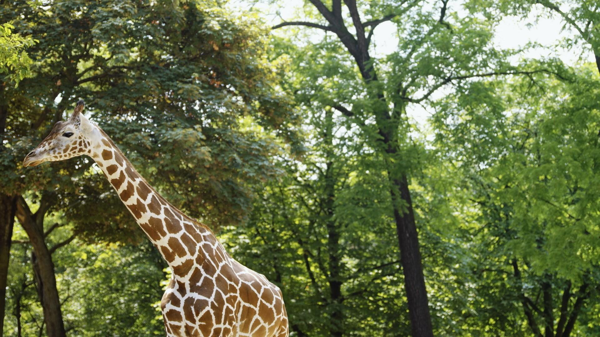 【v粉壁纸】可爱卖萌的长颈鹿壁纸