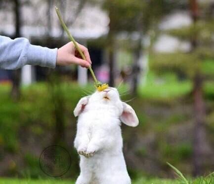 【v粉壁纸】超可爱的垂耳兔