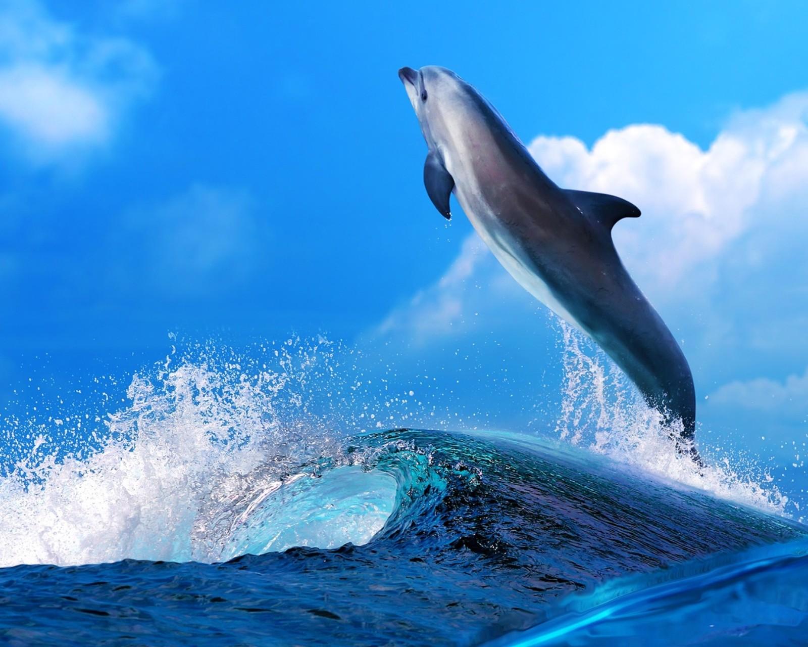 【v粉壁纸】可爱动物海豚壁纸