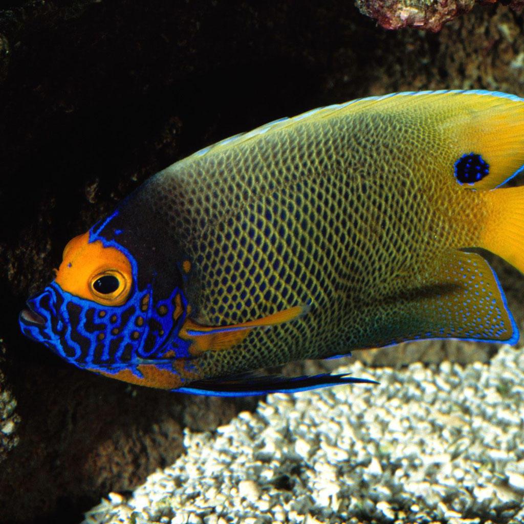 【v粉壁纸】高清可爱热带鱼摄影壁纸