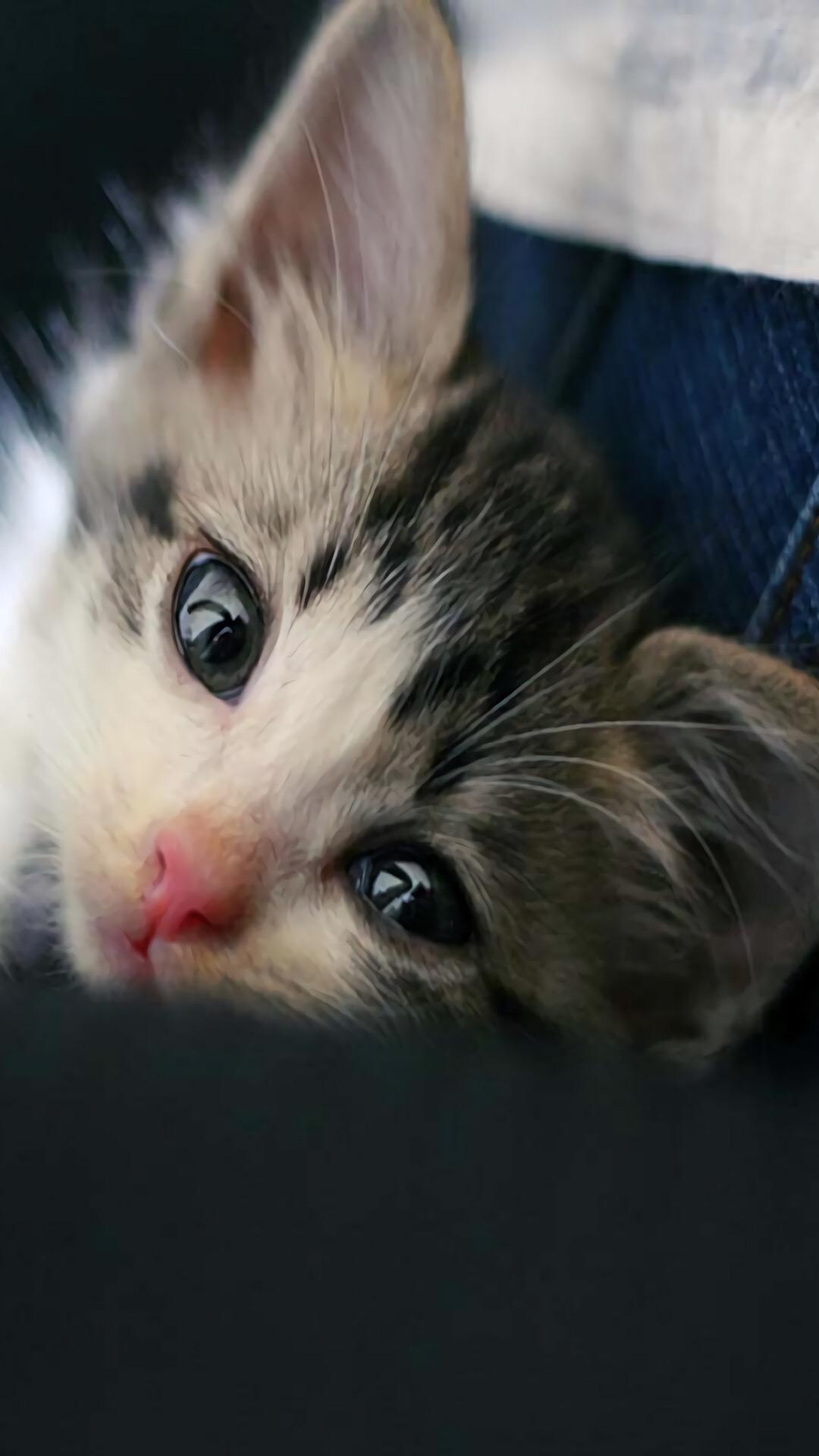 【v粉壁纸】萌宠小猫可爱高清手机壁纸1