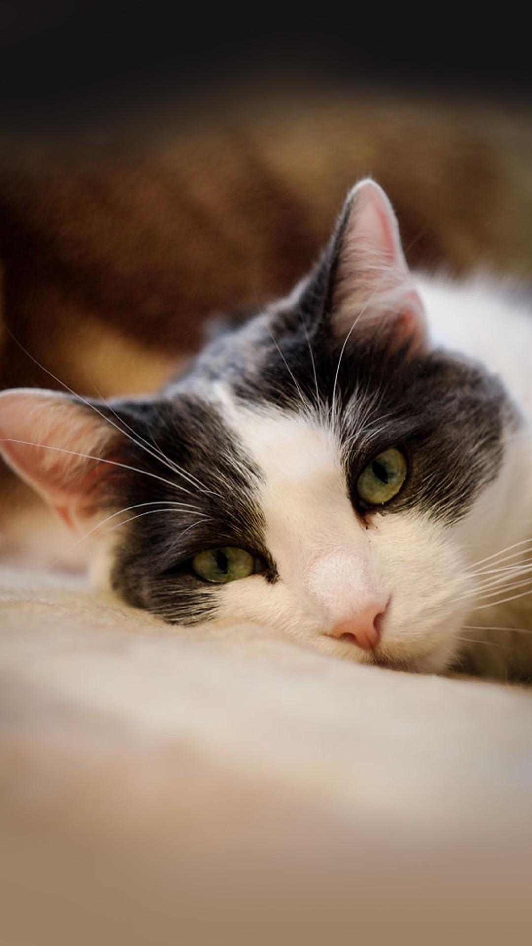 【v粉壁纸】萌宠小猫可爱高清手机壁纸2
