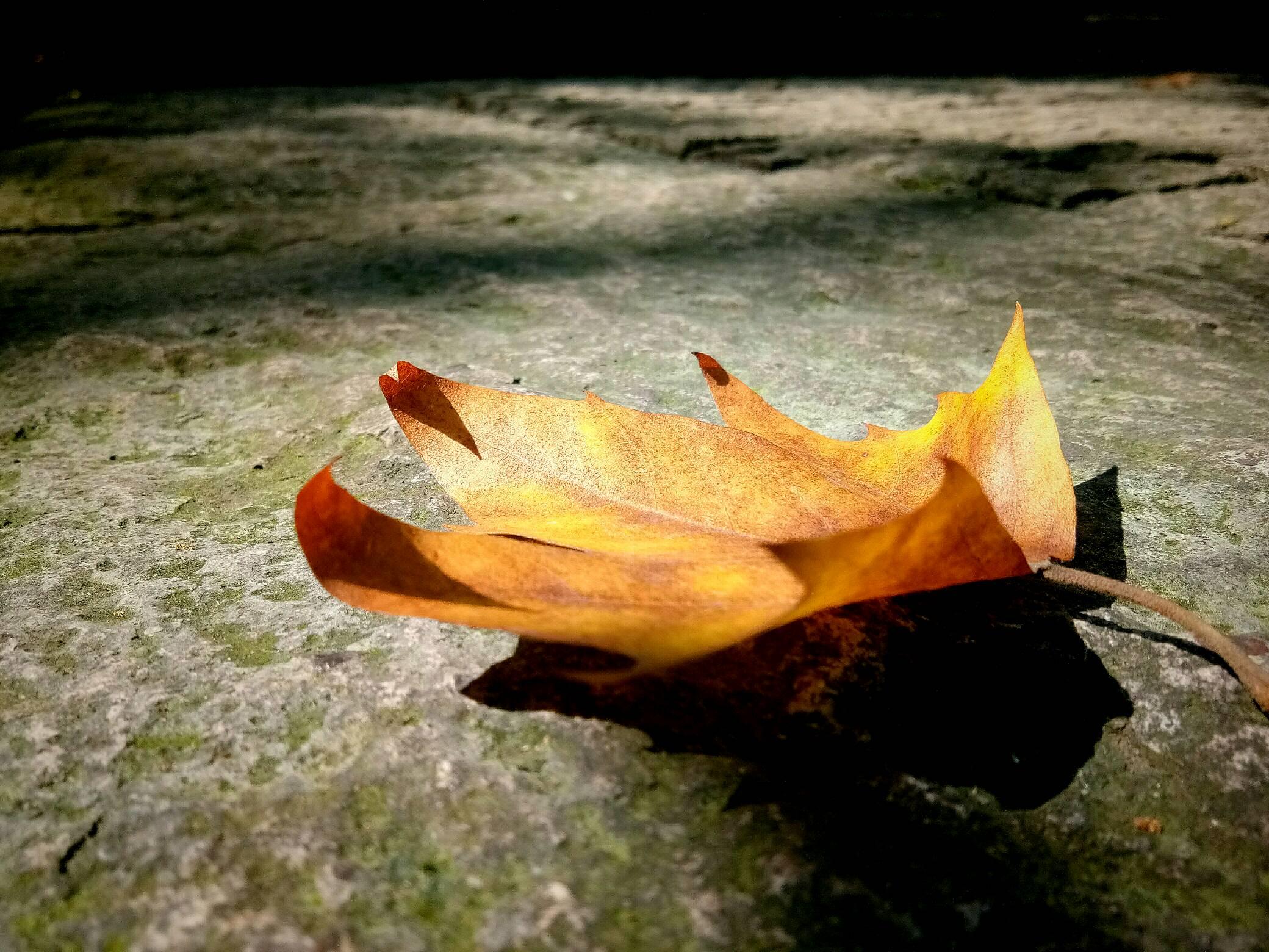 最爱秋天的梧桐叶,一片落叶,孤单又灿烂.图片