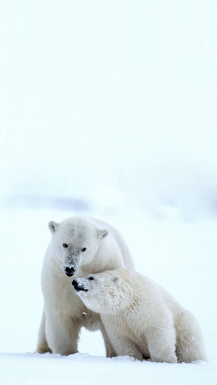 〔v粉主题素材壁纸〕北极熊