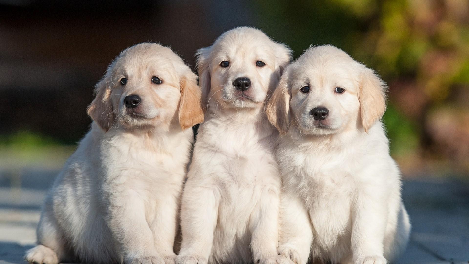 【v粉壁纸】可爱狗宝宝高清壁纸
