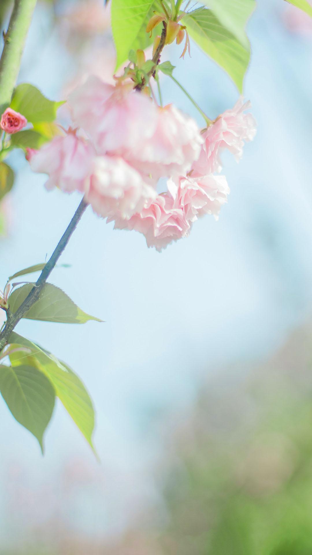 【v粉壁纸】樱花唯美风景高清手机壁纸
