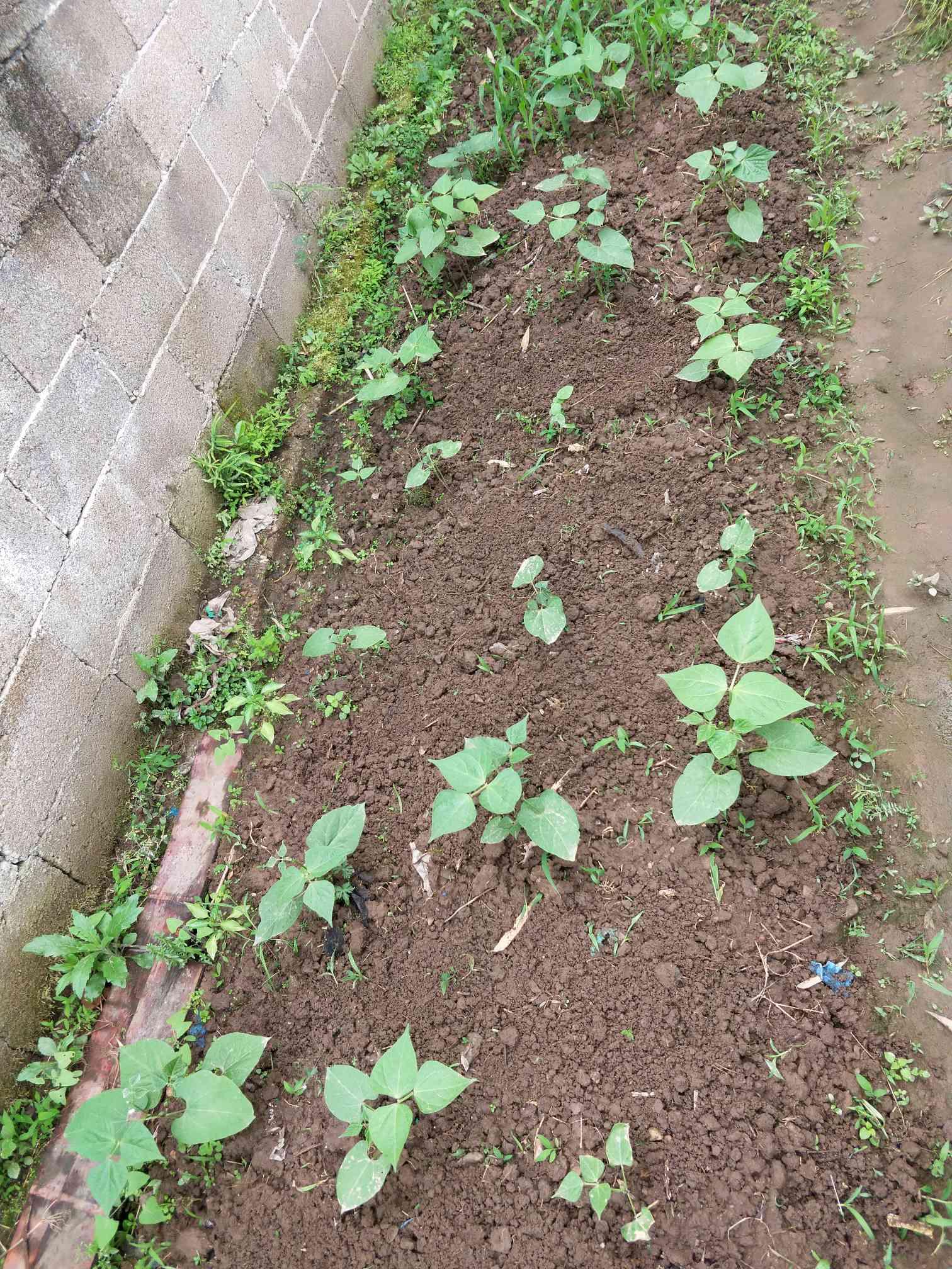 种植豆苗步骤图