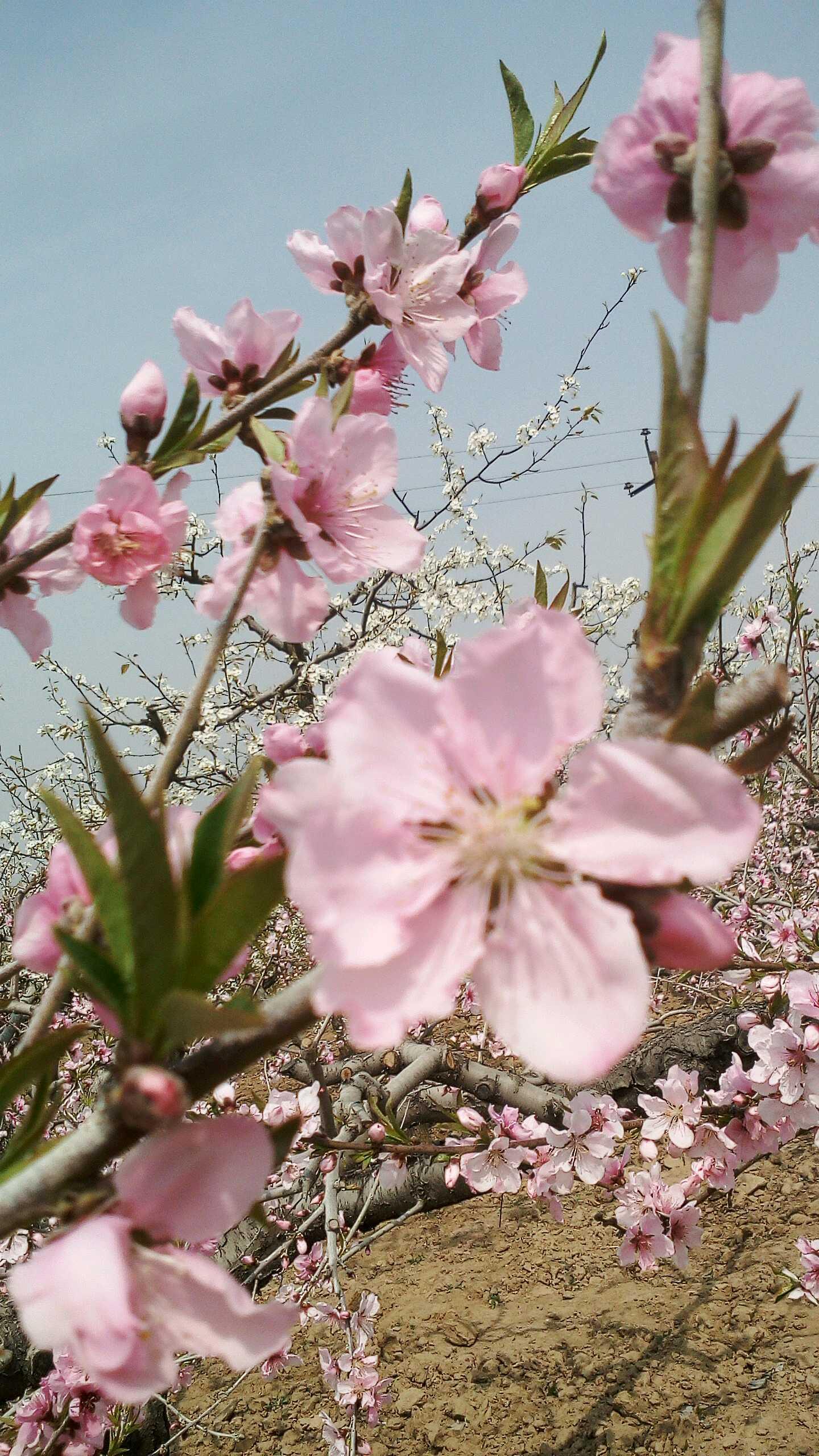 阳春三月好风景,人面挑花向映红.春风吹的游人醉,果农祈盼好收成.