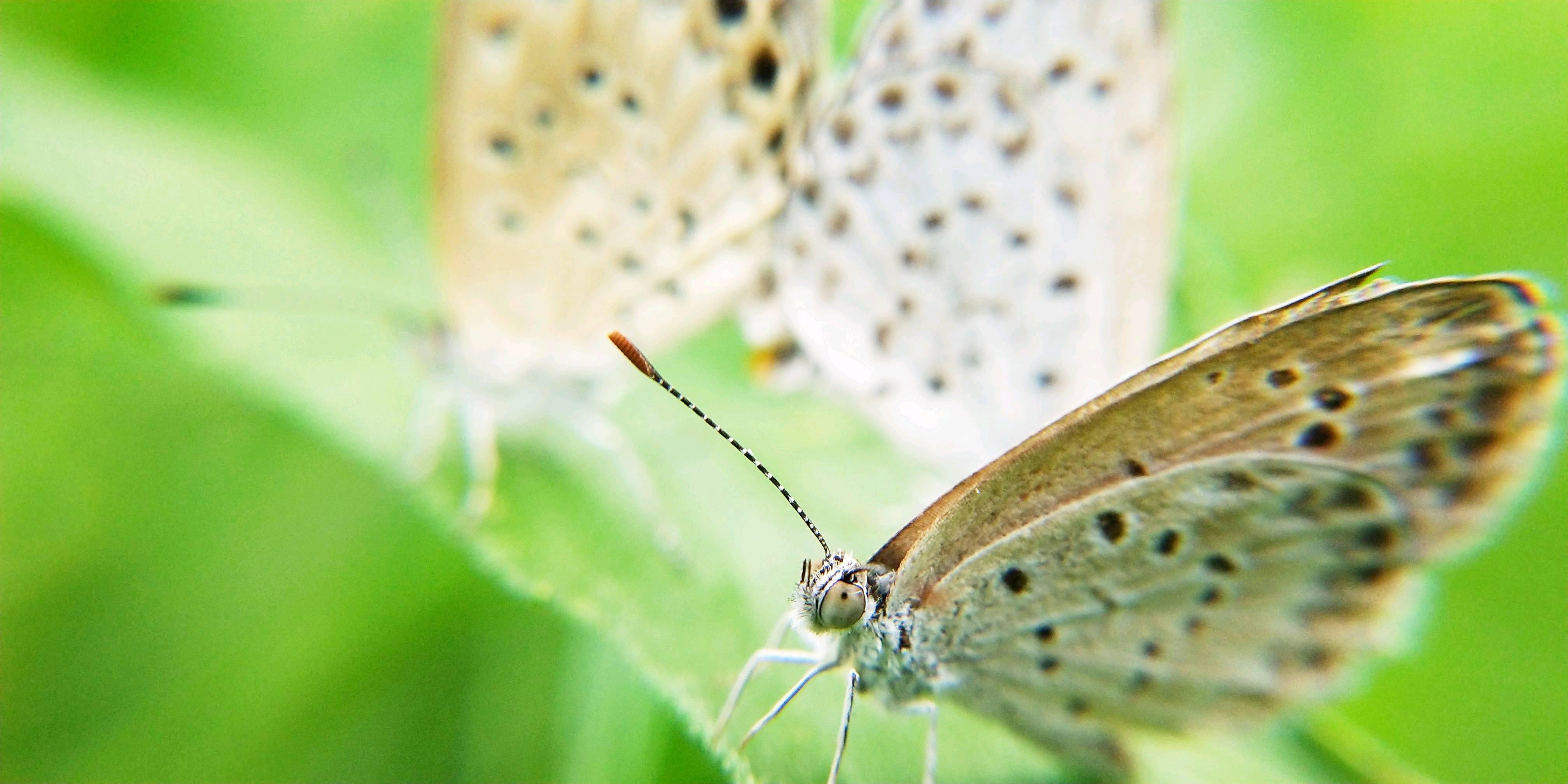 型號:vivoX20A 地點:肇慶市七星巖 時間:2018年6月2日 蝴蝶在花叢中飛舞覓食、交配。它是一種昆蟲最美觀賞。 【交配】