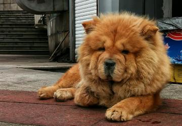 【xshot】松狮