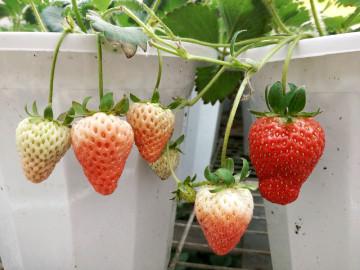 【发现生活之美】草莓成熟了