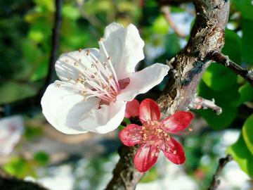 【寻春】蜜蜂与杏花