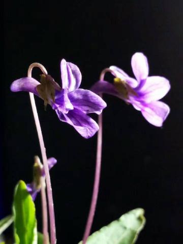 (x5pro)紫花地丁