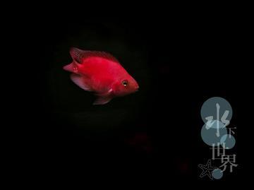 xPlay6 水族箱里面的血鹦鹉