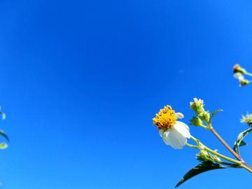 【漂亮照片怎么拍】如何把入侵物种野菊花拍得栩栩如生