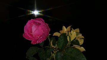 晚秋。最后的一朵月季