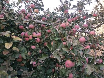 苹果园拾趣。