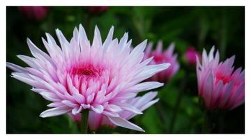 扬州瘦西湖风景菊花展