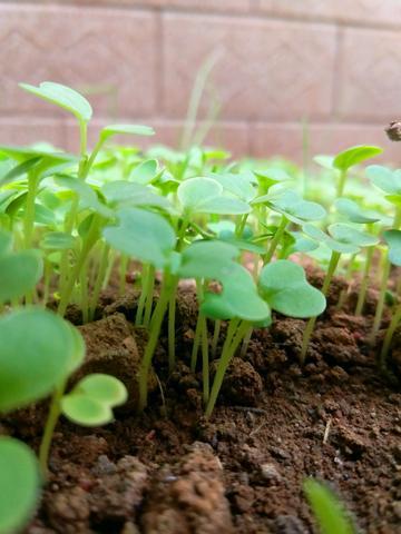 冬日里的小菜芽