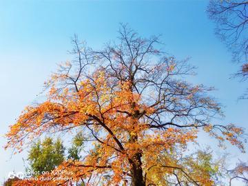 【X20Plus拍摄样片】一树秋容