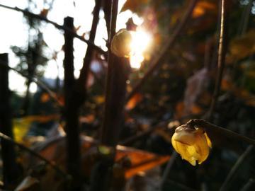 斜阳下的黄腊梅