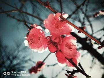 【中国好风光】用vivo手机带你领略昆明第二十二届梅花节