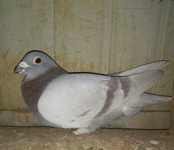 可怜了我的鸽