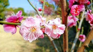 【春节随手拍】红梅报春