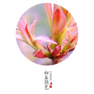【x9摄影】红叶石楠报春晓