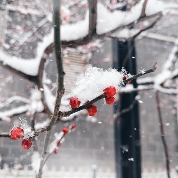 【随手拍雪景】白雪梅香