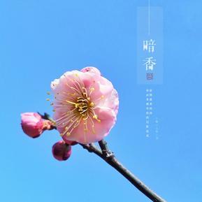 春之恋,梅正香