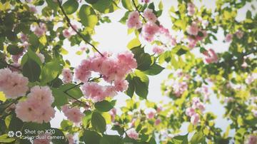 【初春记】那年樱花开