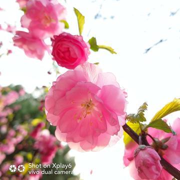 【初春记】樱花