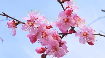 【X21样张】一园春雨杏花红