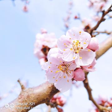 【X21样张】一片杏花香
