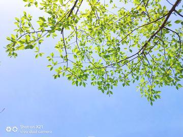 【X21样张】春之新叶