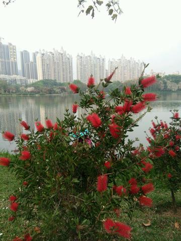 红千层,  又是一个被名字带low的植物!