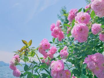 【X20】因风吹过蔷薇