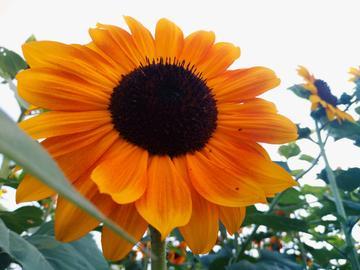 【vivoX9】朵朵葵花向太阳