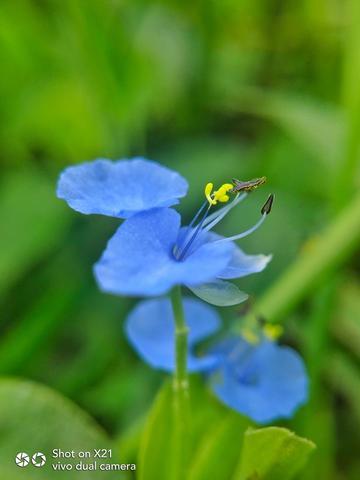 【X21样张】蓝色之恋