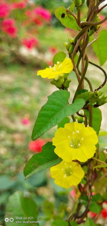 【X21样张】黄色之花