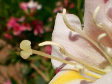 【V3Max A】锦带花
