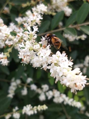 北京的蜜蜂。