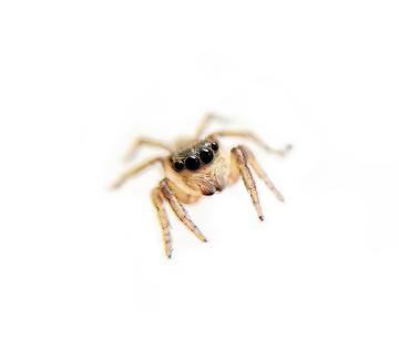 【X20】可爱的蜘蛛